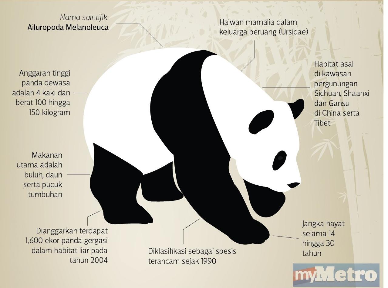 panda gergasi