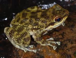 saber-toothed frog
