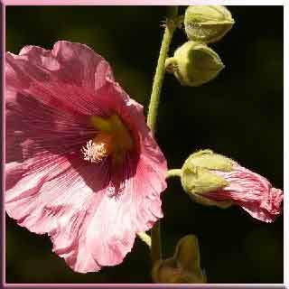 gülhatmi çiçeği  gülhatmi faydaları   Vücut dinçlik,  enerji, Nezle,  Grip,   fayda, yarar, zarar,  Göğüs,  yumuşak,  öksürük,  Balgam,   Diş ağrısı,  Sinir,   Midevi, Yatıştırıcı,  spazm, . İştah tonik nedir      sıkılaştırıcı tonik