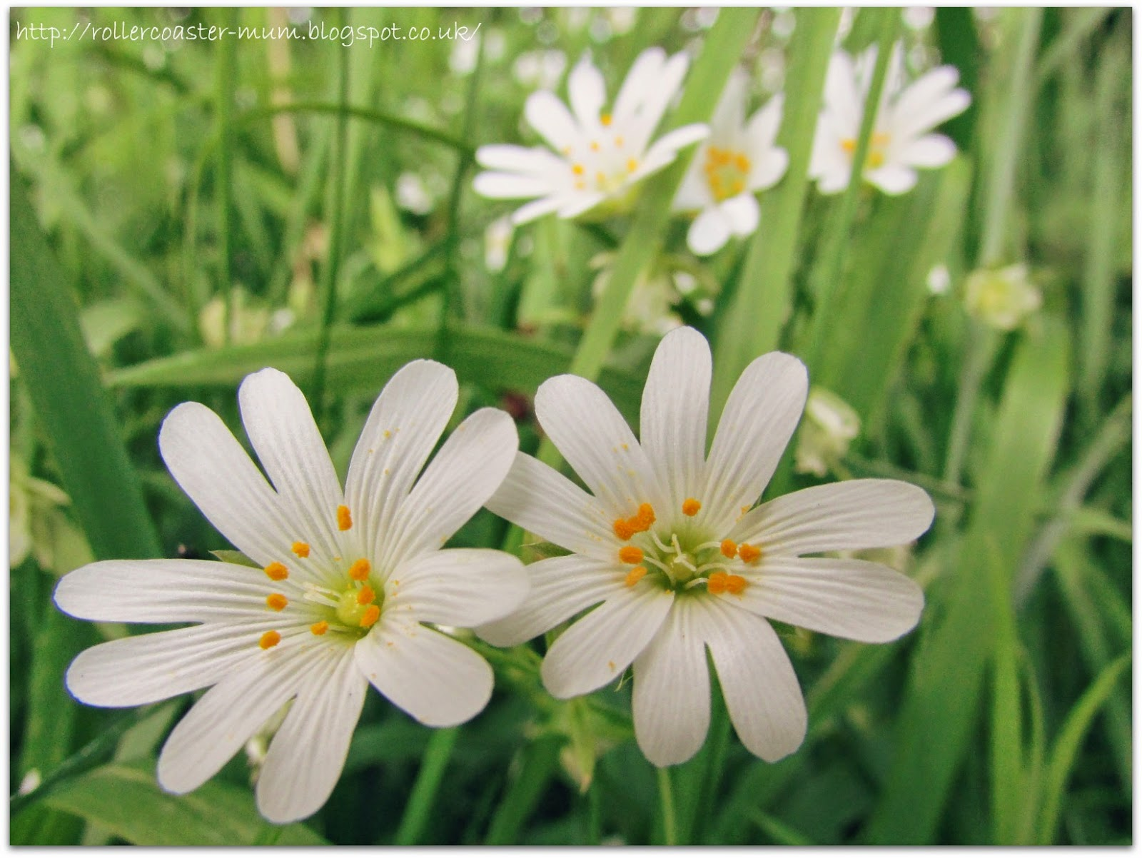 pretty star like Greater Stitchwort flowers, Stellaria holostea