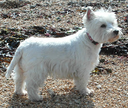 Daisy the westie