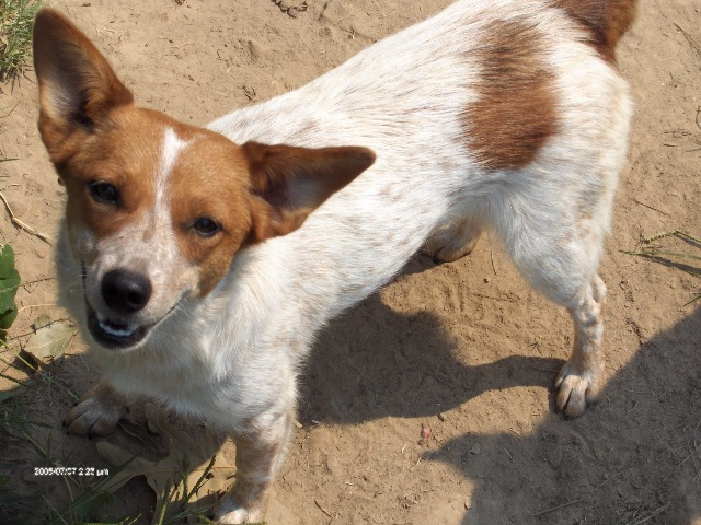 cowdog chronicles chama amp other red heeler mixes