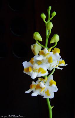 Doritis pulcherrima var. champorensis 'White', Doritis pulcherrima var. chumporensis 'White'