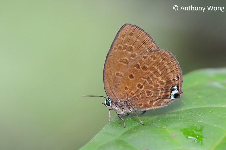Wingspan of Adult Butterfly: 38mm. Caterpillar Host Plants: Macarange ...