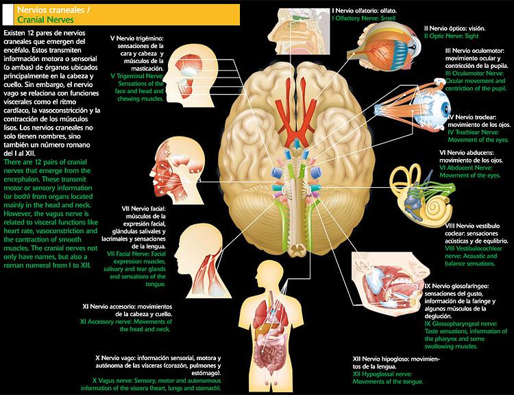 Encefalo y pares craneales for 12 paredes craneales