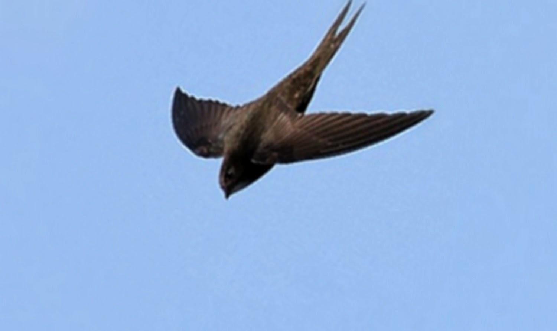 10 Burung Tercepat yang Ada di Bumi