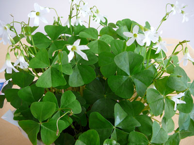 Florafino 39 s e news march means bring on the shamrocks - Shamrock indoor plant ...