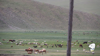 Cattle grazing by the road side.