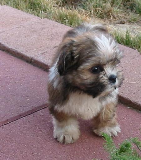... pure breeds,hybrid dogs,popular dog breeds,toy dog breeds: Yorkie-Apso