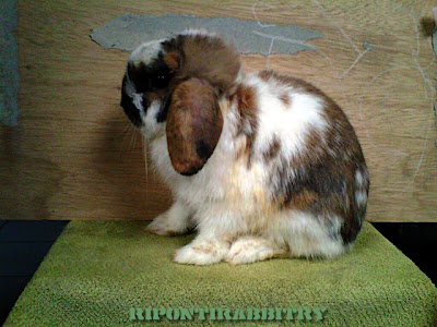 kit holland lop