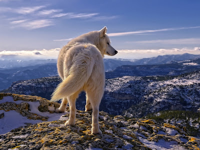White Wolf At The Edge of Mountain HD Desktop Wallpaper