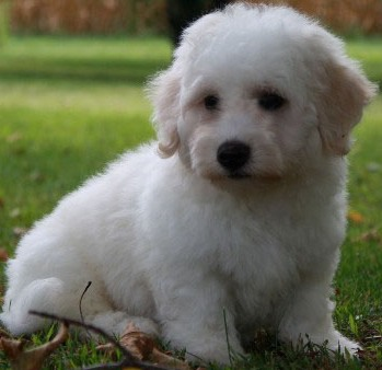Puppies Pictures for Pet: Bichon Frise Puppy Pictures