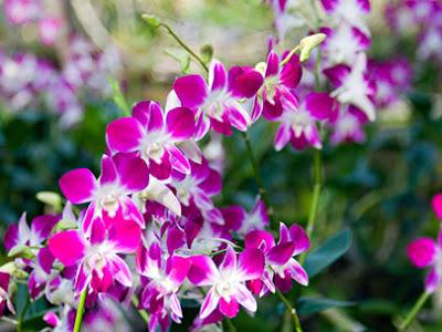 Download Gambar Bunga Anggrek Putih
