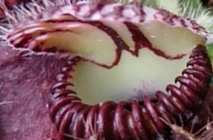 Ini 7 Jenis Tumbuhan Karnivora Terganas di Berbagai Penjuru Dunia