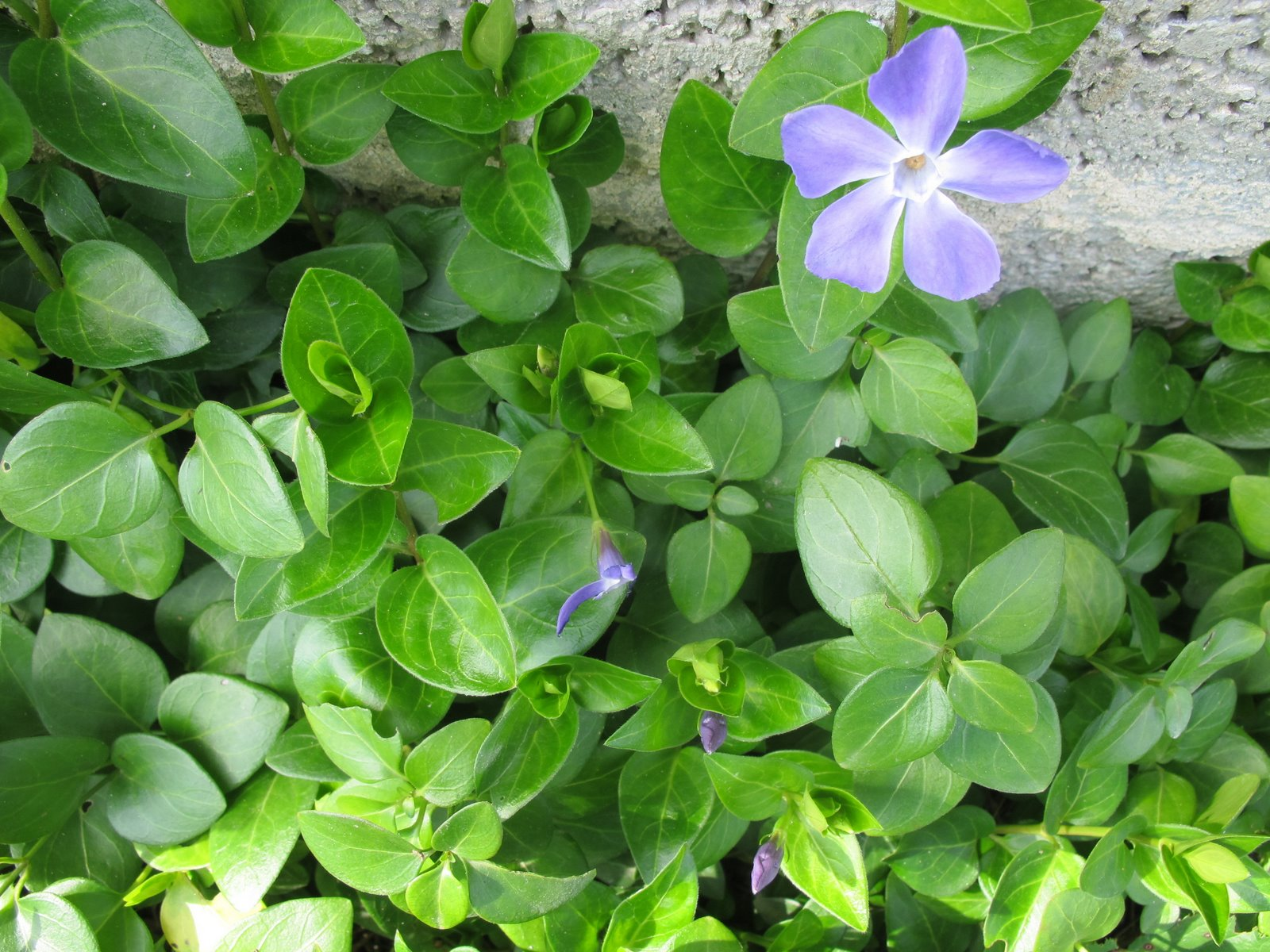 Flora nel salento e anche altrove vinca major l subsp for Vinca major