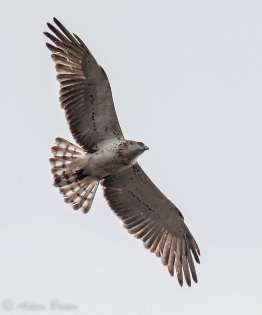 Short-toed Eagle - Morden Bog, Dorset (Aidan Brown)