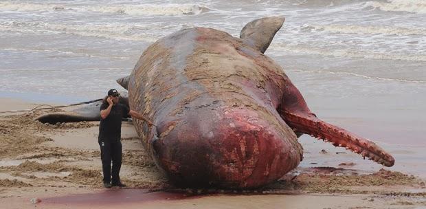 Baleia-cachalote. Foto: Miguel Rojo/AFP