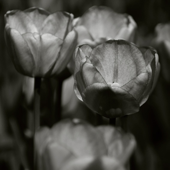 photo, tulipes, fleurs, tulips, flowers, &#169; dominique houcmant
