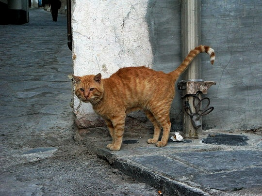 Cat from Cadaqués, Spain
