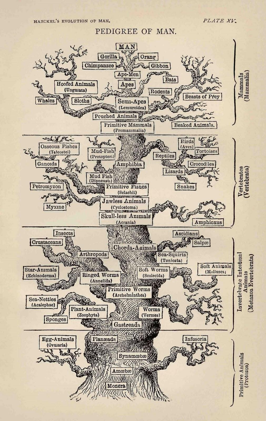 Arbre dels ascendents del home, segons Haeckel al 1874