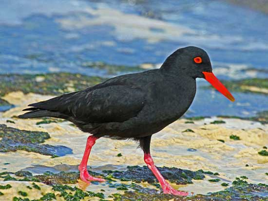Most Amazing Recently Extinct Animals Canarian Oystercatcher