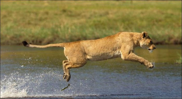 A mother lion fights a crocodile to protect her cubs, lion vs crocodile, animal fights