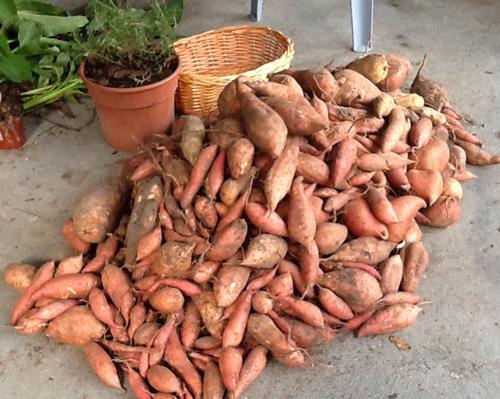 sweet potato easy to grow big pile & Survival Plant Profile: Sweet Potatoes | The Survival Gardener