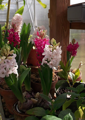 Dotty Plants Greenhouse Journal Forced Bulb Decisions