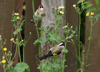 Goldfinches on Sow Thistles in Greytown, NZ