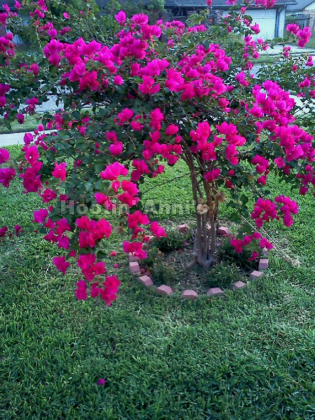 Training Bougainvillea