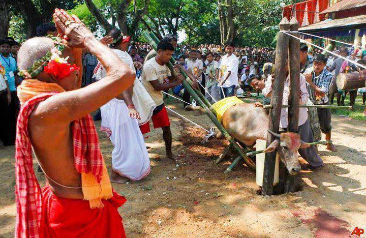 brahma cow hindu