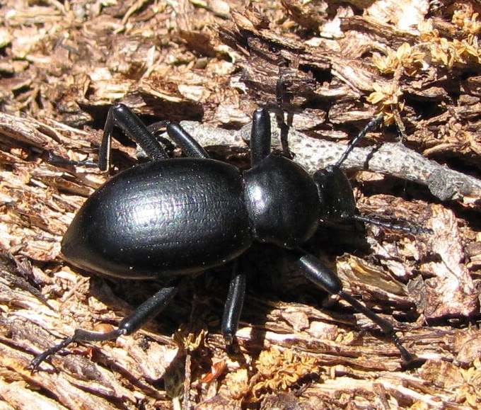 I won t make you wait  I know you are already asking how to tell the  difference between Eleodes and Coelocnemis  In my experience  Coelocnemis  usually has a. Bug Eric  Big Black Beetles  Coelocnemis