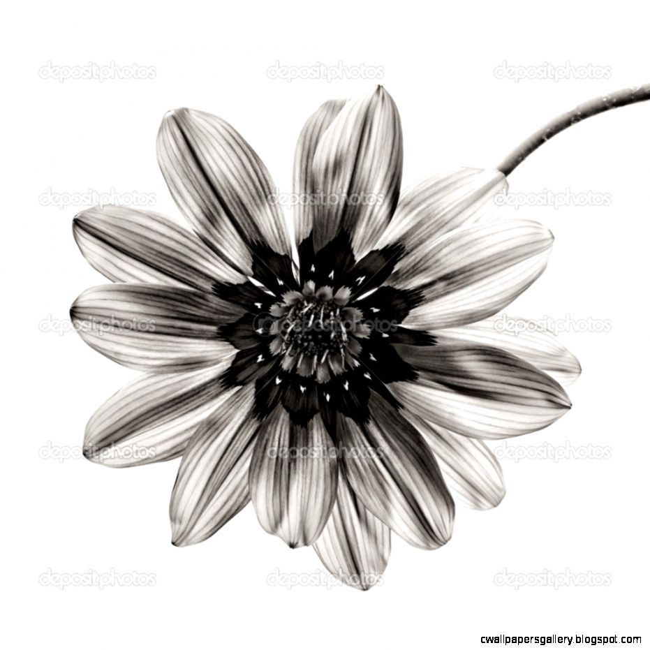 Flower in black and white on white background — Stock Photo