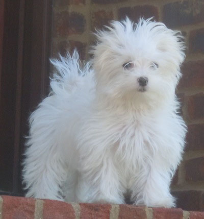 Maltese Puppies and Dogs- Maltese is one of the most brilliant and ...