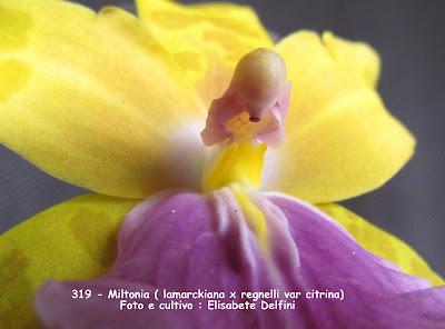 Miltonia (lamarckiana x regnelli var citrina) do blogdabeteorquideas