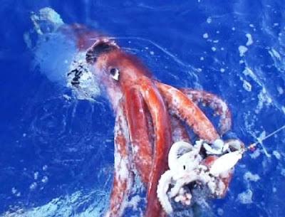 Los extraños Calamares Gigantes (Architeuthis).