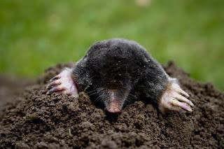 European Mole.txt