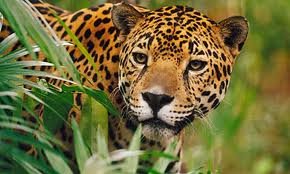 jaguar dier foto