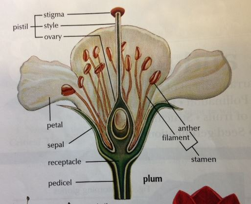 Be the one wordless wednesday flower dissection the chart showing each flower part to find ccuart Image collections