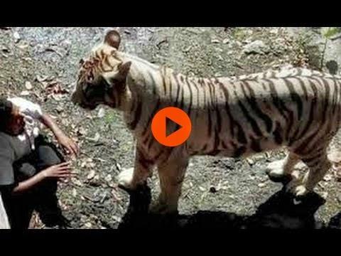 نمر يلتهم شاب هندي أمام عدسة الكاميرا!