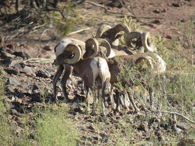 AZ+Desert+Bighorn+Sheep+Scouting+Pics+by+Colburn+and+Scott+Outfitters+8.JPG