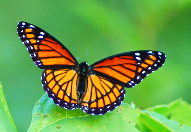 Pictures Of A Butterfly 35
