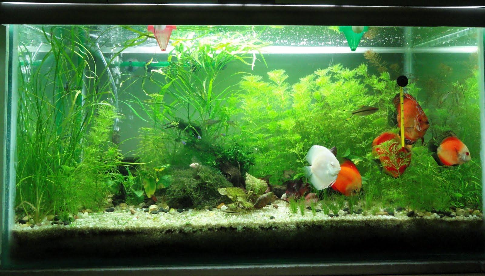My aquarium blog planted discus aquarium for Diskus aquarium