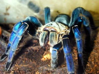 Tarántula azul cobalto (Haplopelma Lividum Cobalt Blue).