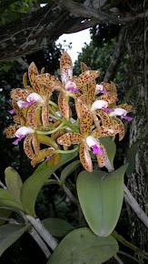 Orquidea Butata