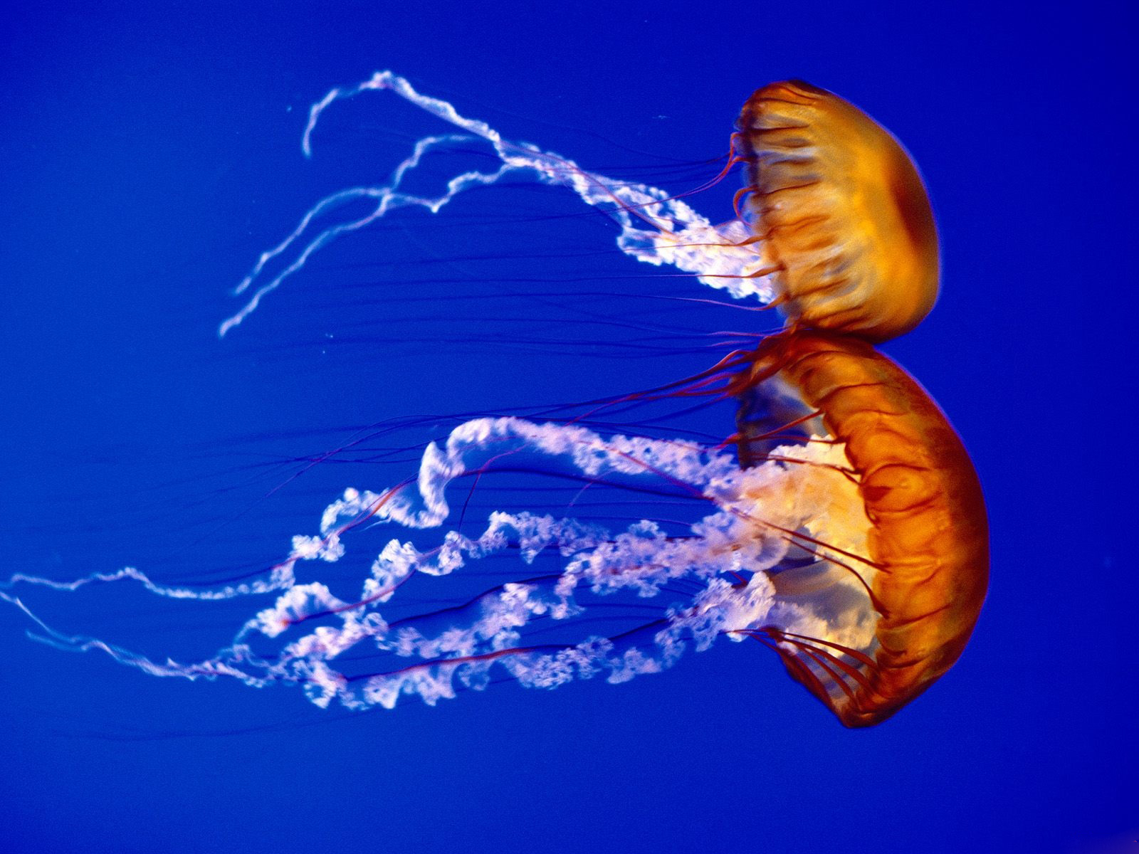 Sea Ocean Animals Jellyfish