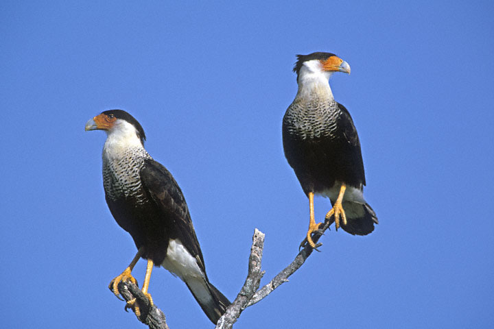 Caracara Cheriway Info And Pictures All Wildlife Photographs
