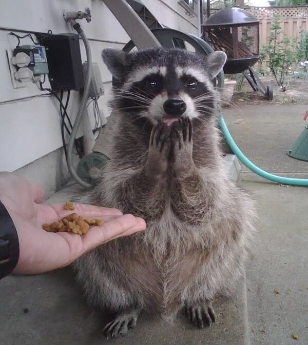 Funny animals of the week - 27 December 2013 (40 pics), raccoon gets food from human