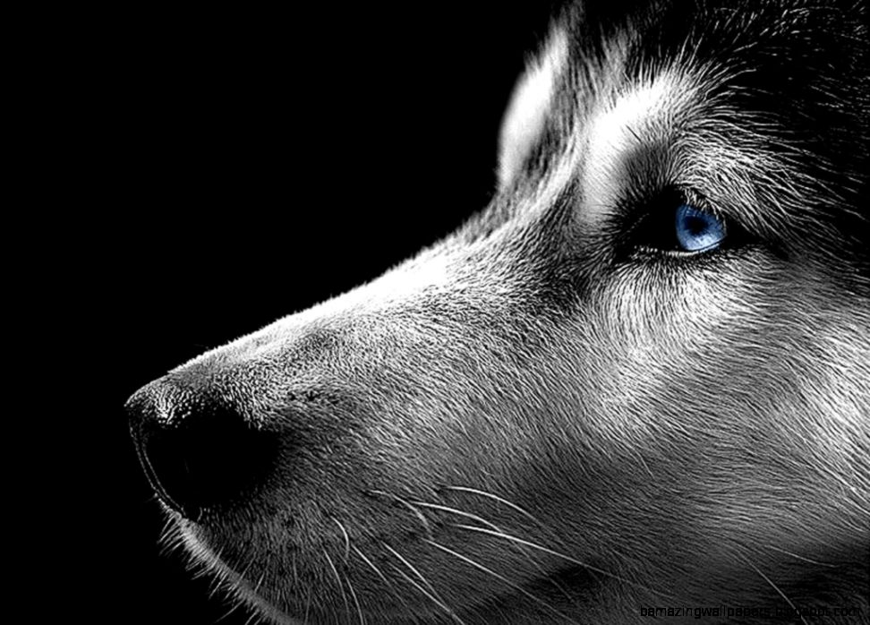 Black And White Husky Photographyimage Gallery Siberian Husky Dec