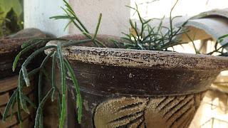 planta suculenta, cacto macarrão, riphisalis